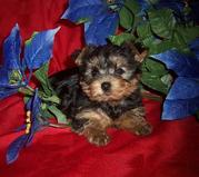 sweeet male and female teacup yorkie puppies available