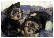 Well train yorkie puppies for adoption this Xmas