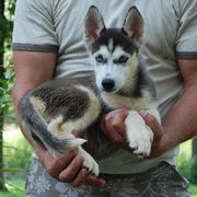 Well Socialized Siberian Husky Puppies Available Now!!!