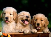 GOLDEN RETRIEVER,  Puppies available now 2