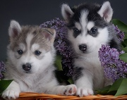 healthy siberian husky puppies and cute for a new home