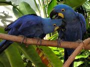Pair Of Hyacinth Macaw Parrot For Adoption