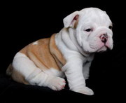 English Bull Dogs Puppies For Sale